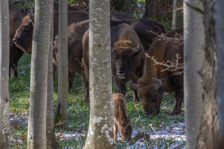 Primul pui de zimbru născut în libertate în Argeș se bucură de protecția turmei sale