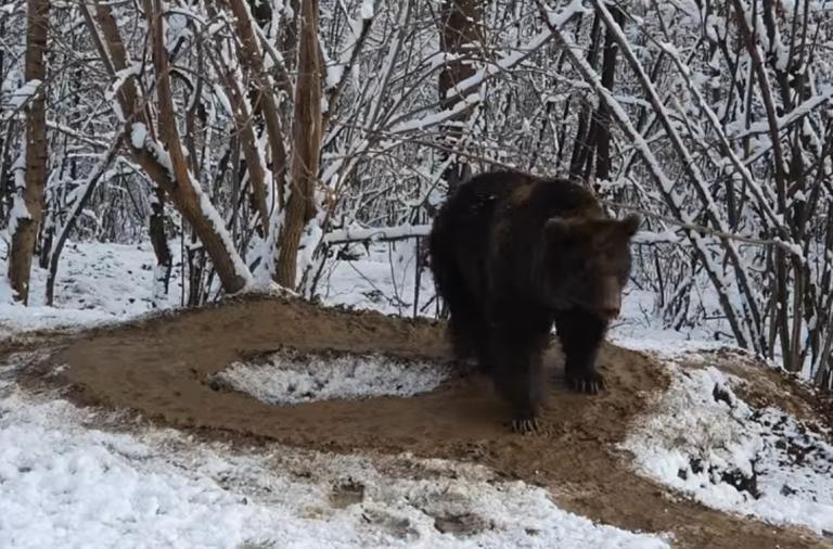 Captivă 20 de ani în câțiva metri pătrați, o ursoaică se învârte în cerc și în libertate