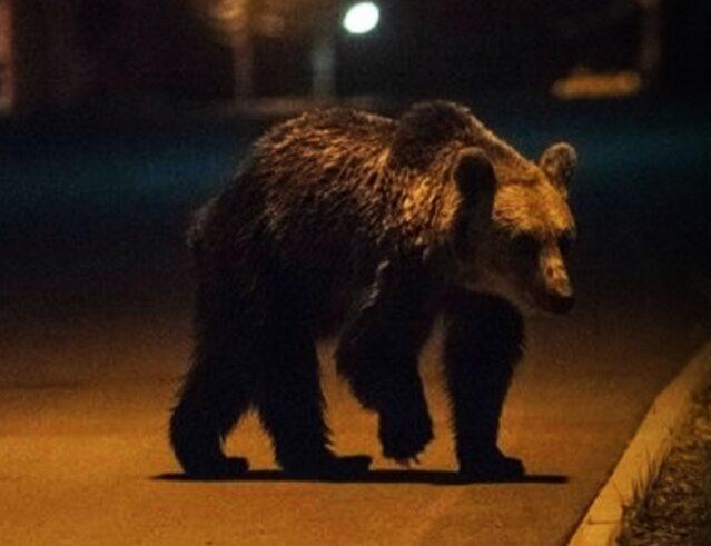 Urșii ajung tot mai aproape de Pitești