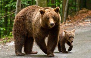 Urs în localități